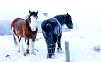 Cold, minus 11F, but these horses are tough. Utah Jan 2013