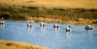 White Pelicans, Fish Springs